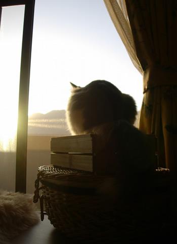 ノルウェージャンフォレストキャット・猫写真16