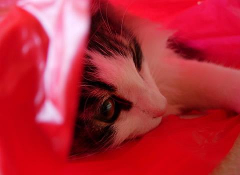 ノルウェージャンフォレストキャット・猫写真24