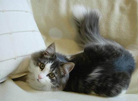 ノルウェージャンフォレストキャット・猫写真29
