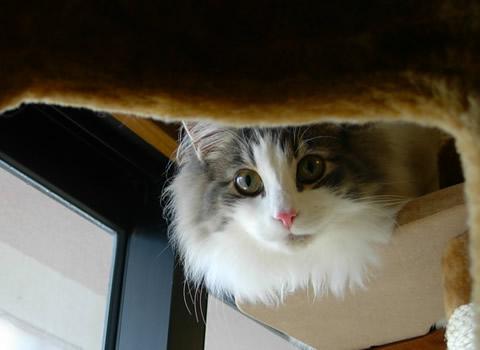 ノルウェージャンフォレストキャット・猫写真32