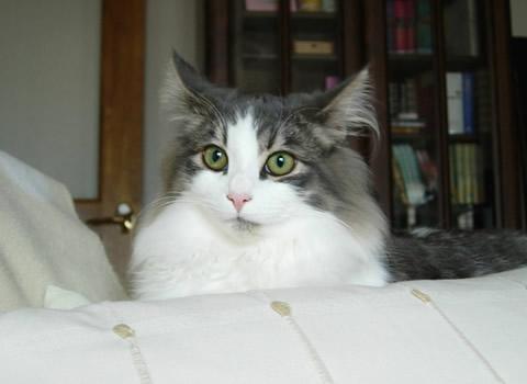 ノルウェージャンフォレストキャット・猫写真33
