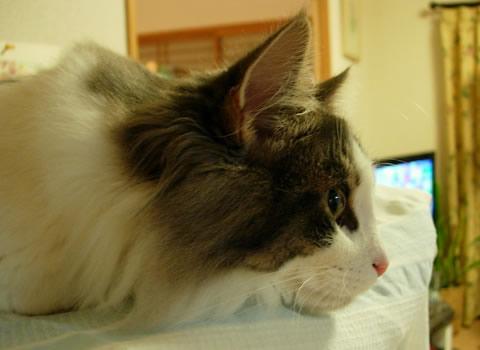 ノルウェージャンフォレストキャット・猫写真45